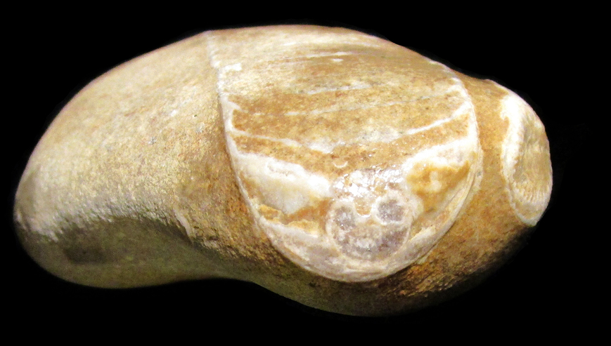 fossil_from_the_baltic_sea_2015_anna_maria_karolak_photo_25_02
